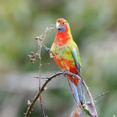 Crimson rosella. Juvenile. Red Hill, Victoria, Australia, September 2020. Image © Mark Lethlean by Mark Lethlean