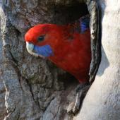 Crimson rosella. Adult in nesting hollow. Canberra, Australia, October 2015. Image © R.M. by R.M.