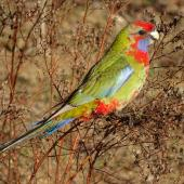 Crimson rosella. Juvenile. Canberra, Australia, May 2017. Image © R.M. by R.M.