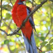 Crimson rosella. Adult. Canberra, Australia, May 2016. Image © R.M. by R.M.
