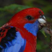 Crimson rosella. Adult male head. Blue Mountains,  New South Wales,  Australia, November 2009. Image © Peter Reese by Peter Reese