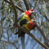 Eastern rosella. Adult pair mating. Kambah, Canberra, Australian Capital Territory, October 2015. Image © Glenn Pure 2015 birdlifephotography.org.au by Glenn Pure