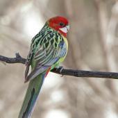 Eastern rosella. Adult female. Urambi Hills Reserve, Australian Capital Territory, May 2020. Image © Glenn Pure 2020 birdlifephotography.org.au by Glenn Pure