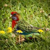Eastern rosella. Fledgling. Crofton Downs, Wellington, March 2016. Image © Rodger Sparks by Rodger Sparks