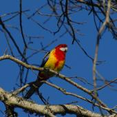 Eastern rosella. Adult male showing red on breast. North Shore Auckland, July 2009. Image © Peter Reese by Peter Reese