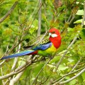 Eastern rosella. Adult male perching. Birkenhead, Auckland, November 2009. Image © Josie Galbraith by Josie Galbraith