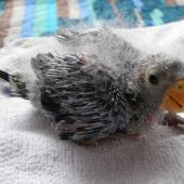 Eastern rosella. Chick c. 18 days old. Rothesay Bay, Auckland, December 2008. Image © Josie Galbraith by Josie Galbraith