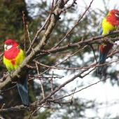 Eastern rosella. Perching adult pair (male on left). Birkenhead, Auckland, July 2011. Image © Josie Galbraith by Josie Galbraith