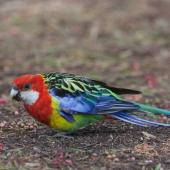 Eastern rosella. Moulting adult female feeding on ground. Melbourne, Victoria, Australia, January 2010. Image © Sonja Ross by Sonja Ross