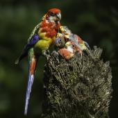 Eastern rosella. Adult female feeding chicks in nest. Karori Sanctuary / Zealandia, February 2014. Image © Toya Heatley by Toya Heatley http://www.digitalpix.co.nz