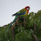 Eastern rosella. Adult male in treetop. Cockle Bay,  Auckland. Image © Noel Knight by Noel Knight