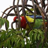 Eastern rosella. Adult extracting seeds from emerald tree's long seed pods. Mission Heights garden, Auckland, April 2016. Image © Marie-Louise Myburgh by Marie-Louise Myburgh