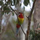 Eastern rosella. Front view of perching adult male. Geelong area, Victoria, Australia, September 2008. Image © Sonja Ross by Sonja Ross