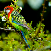 Eastern rosella. Adult eating blossoms. Orongo Bay, Russell, September 2014. Image © Les Feasey by Les Feasey