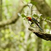 Eastern rosella. Adult perched on branch. Smith's Bush, Auckland. Image © Eugene Polkan by Eugene Polkan
