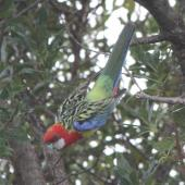Eastern rosella. Subadult taking off; green patch visible on head. Lower Hutt, November 2015. Image © Robert Hanbury-Sparrow by Robert Hanbury-Sparrow