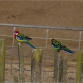 Eastern rosella. Two adult males perched on posts. Ponui Island, February 2013. Image © Colin Miskelly by Colin Miskelly