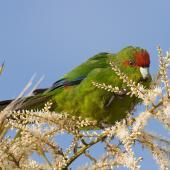 Red-crowned parakeet. Adult eating cabbage tree flowers. Tiritiri Matangi Island, November 2007. Image © Neil Fitzgerald by Neil Fitzgerald www.neilfitzgeraldphoto.co.nz