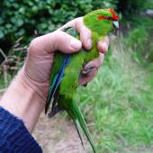 Red-crowned parakeet. Chatham Island red-crowned parakeet in hand. Rangatira Island, February 2009. Image © Graeme Taylor by Graeme Taylor