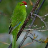 Red-crowned parakeet. Adult on flax stalk. Kapiti Island, November 2006. Image © Peter Reese by Peter Reese