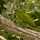 Red-crowned parakeet. Chatham Island subspecies adult. Rangatira Island, Chatham Islands. Image © Art Polkanov by Art Polkanov