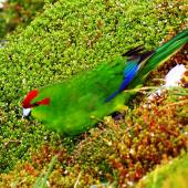 Red-crowned parakeet. Adult bird near nest burrow. Enderby Island, Auckland Islands, January 2007. Image © Ian Armitage by Ian Armitage