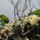Red-crowned parakeet. Pair in foliage. Rose Island, Auckland Islands, November 2009. Image © Kate Beer by Kate Beer