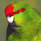Red-crowned parakeet. Close view of adult in captivity. Wanganui, October 2009. Image © Ormond Torr by Ormond Torr