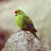 Red-crowned parakeet. Kermadec Island red-crowned parakeet. Macauley Island, Kermadec Islands, May 1982. Image © Colin Miskelly by Colin Miskelly
