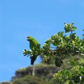 Red-crowned parakeet. Adult . Kapiti Island, February 2010. Image © Sarah Jamieson by Sarah Jamieson