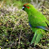 Red-crowned parakeet. Adult. Kapiti Island, March 2006. Image © Alex Scott by Alex Scott
