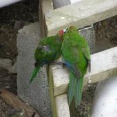 Red-crowned parakeet. Pair courtship feeding. Tiritiri Matangi Island, January 2008. Image © Josie Galbraith by Josie Galbraith