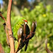 Red-crowned parakeet. Adult feeding on flax seed. Tiritiri Matangi Island, January 2006. Image © Josie Galbraith by Josie Galbraith