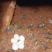 Red-crowned parakeet. Complete clutch of red-crowned parakeet eggs. Little Barrier Island. Image © Terry Greene by Terry Greene