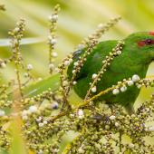 Red-crowned parakeet. Adult feeding on cabbage tree fruit. Tiritiri Matangi Island, February 2014. Image © Laurie Ross by Laurie Ross Courtesy Laurie Ross Photography http://laurieross.com.au/
