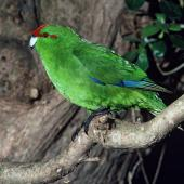 Red-crowned parakeet. Adult Chatham Island red-crowned parakeet. Rangatira Island, Chatham Islands, November 1981. Image © Department of Conservation (image ref: 10033802) by Dave Crouchley, Department of Conservation Courtesy of Department of Conservation