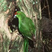 Red-crowned parakeet. Adult Chatham Island red-crowned parakeet at nest entrance. Chatham Islands. Image © Department of Conservation (image ref: 10042091) by Dick Veitch, Department of Conservation Courtesy of Department of Conservation