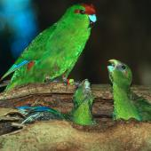 Red-crowned parakeet. Male red-crowned parakeet feeding chicks at nest. Little Barrier Island. Image © Terry Greene by Terry Greene
