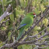 Red-crowned parakeet. Adult Chatham Island red-cowned parakeet. Rangatira Island, Chatham Islands, October 2020. Image © James Russell by James Russell