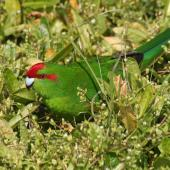 Red-crowned parakeet. Adult. Enderby Island, Auckland Islands, December 2005. Image © Andrew Maloney by Andrew Maloney