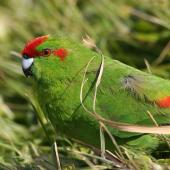 Red-crowned parakeet. Adult. Enderby Island, Auckland Islands, December 2006. Image © Andrew Maloney by Andrew Maloney