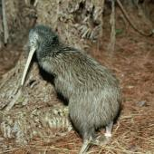 North Island brown kiwi. Adult. Waitangi State Forest, Northland. Image © Department of Conservation ( image ref: 10031411 )  by Rogan Colbourne, Department of Conservation  Courtesy of Department of Conservation