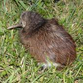North Island brown kiwi. Juvenile. Hauturu / Little Barrier Island, February 2015. Image © Alan Tennyson by Alan Tennyson