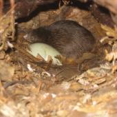 North Island brown kiwi. Chick and egg in nest. Hauraki Gulf island, September 2011. Image © Sarah Jamieson by Sarah Jamieson