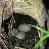 North Island brown kiwi. Nest with 3 eggs. Hauraki Gulf island, November 2010. Image © Sarah Jamieson by Sarah Jamieson