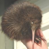 North Island brown kiwi. 1-week-old chick. Enviro Research,  Ohakune, September 2006. Image © Kerry Oates by Kerry Oates
