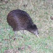 North Island brown kiwi. Adult foraging in pasture at night. Hauraki Gulf island, February 2013. Image © Colin Miskelly by Colin Miskelly