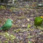 Yellow-crowned parakeet. Mixed pair orange-fronted parakeet female (3-4 months old, left) with yellow-crowned parakeet male (right) feeding on forest floor. South Branch Hurunui, December 2015. Image © Corey Connor by Corey Connor