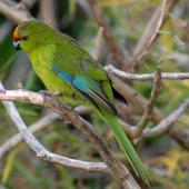 Yellow-crowned parakeet. Adult showing wing markings. Mana Island, March 2009. Image © Peter Reese by Peter Reese