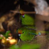 Yellow-crowned parakeet. Pair mating. Mana Island, March 2009. Image © Peter Reese by Peter Reese